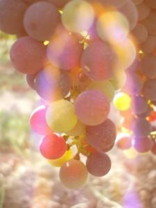 Photographie Lizadie Taste raisins